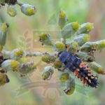 Larva predando